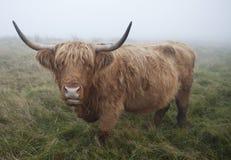 Vache des montagnes écossaise image libre de droits