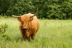 Vache des montagnes écossaise debout Photos stock