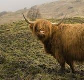 Vache des montagnes Image stock