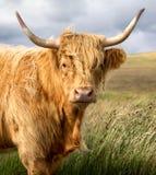 Vache des montagnes Photos libres de droits