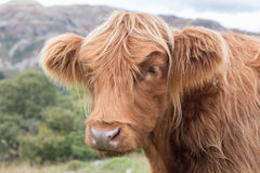 Vache des montagnes Photographie stock