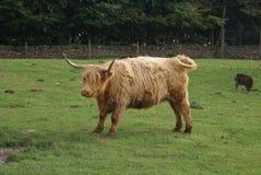 Vache des montagnes Bétail des montagnes dans une ferme Images stock