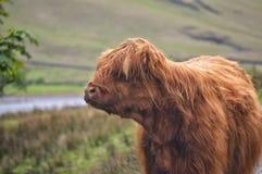 Vache des montagnes dans Buttermere Image libre de droits