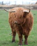 Vache des montagnes (Kyloe) Photo stock
