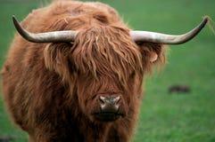 Vache des montagnes (Kyloe) Images stock