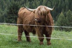 Vache des montagnes sur un pré Photos stock