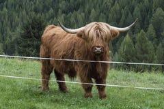 Vache des montagnes sur un pré Image stock