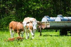 Vache devant des réservoirs d'eau image libre de droits