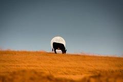 Vache devant la lune Photo stock