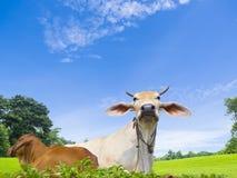Vache domestique dans la terre d'exploitation d'élevage Photo stock