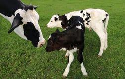 Vache du Holstein avec ses deux veaux dans le domaine photos stock