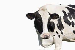 Vache d'isolement sur le fond blanc Images libres de droits