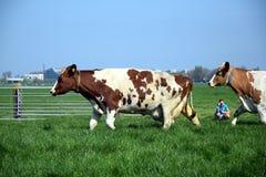 Vache du Holstein de Néerlandais dans les agriculteurs stables photographie stock libre de droits