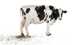 Vache du Holstein pooping, 5 années Photographie stock