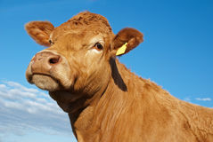 Vache du Limousin Image libre de droits