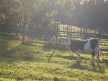 Vache en brume de matin Image stock