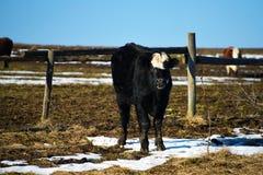 Vache en montagnes Images libres de droits