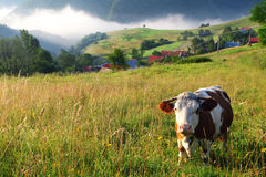 Vache en montagnes d'alpe Photo stock
