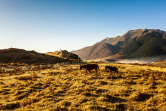 Vache en nature Photographie stock libre de droits