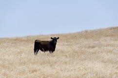 Vache en parc national de chêne Photographie stock libre de droits