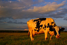 Vache ensoleillée Photo stock