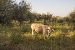 Vache entre les oliviers avec la mer bleue à l'arrière-plan sur le Grec Photos libres de droits