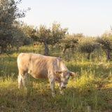Vache entre les oliviers avec la mer bleue à l'arrière-plan sur le Grec Images stock