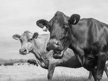 Vache et ami riants dans un domaine de pâturage photo stock