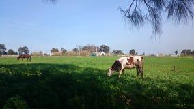 Vache et cheval Photographie stock libre de droits