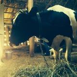 Vache et foin Image stock