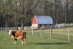 Vache et grange Image stock
