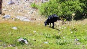Vache et moutons parmi les roches banque de vidéos