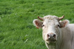 Vache et pâturage images stock