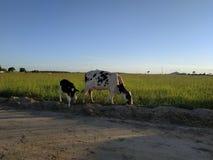 vache et petit animal photographie stock libre de droits