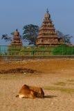 Vache et temple sur la plage Images stock