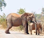Vache et veau à éléphant africain Images libres de droits