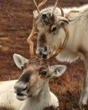 Vache et veau à renne en Ecosse Image libre de droits