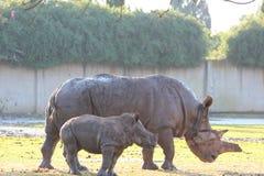 Vache et veau à rhinocéros blanc marchant ensemble Image stock
