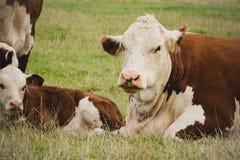 Vache et veau Photo stock