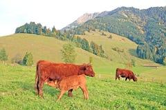 Vache et veau Photos libres de droits