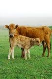 Vache et veau Images libres de droits