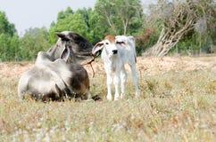 Vache et veau image libre de droits