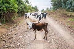 Vache et veau au milieu du chemin de terre Image stock