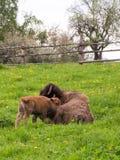 Vache et veau dans le pré vert Photographie stock libre de droits