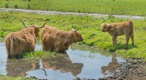 Vache et veau des montagnes Photos stock