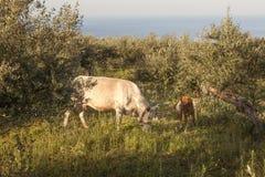 Vache et veau entre les oliviers avec la mer bleue à l'arrière-plan Photos libres de droits