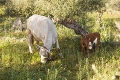 Vache et veau entre les oliviers avec la mer bleue à l'arrière-plan Photo libre de droits