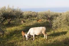Vache et veau entre les oliviers avec la mer bleue à l'arrière-plan Image libre de droits