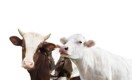 Vache et veau et taureau Photo stock