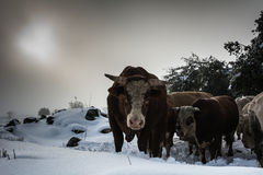 Vache et veau - paysage de neige Images libres de droits